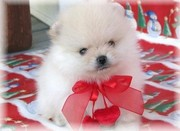 Home Trained Pomeranian Puppies for sale.