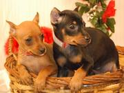 Male/Female Miniature-Pinscher-Puppies for sale.