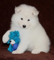 Pure White Samoyed puppies for sale.