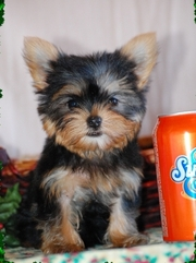 Pure Bred Yorkshire Terrier Puppies for sale.