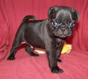 Black Male Pug puppies for sale