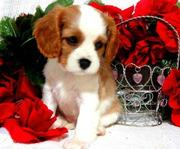 Brown and White Cavalier King Charles Spaniel Puppies For Sale.
